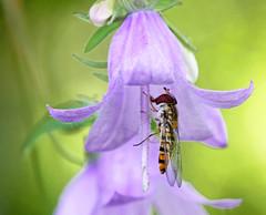 Episyrphus balteatus (3) (saracenovero) Tags: flies syrphidae diptera 2015 episyrphusbalteatus mazeikiai fliesoflithuania