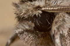 early grey (postcardcv) Tags: macro canon grey early norfolk moth mpe65 earlygrey