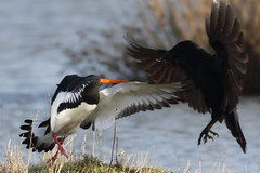 Oystercatcher v Crow (Robin M Morrison) Tags: fight oystercatcher crow quarrel dustup rspblodmoor