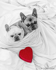 Happy Saint Valentine's Day 2016 (jagsayago) Tags: love dogs perros frenchbulldogs bulldogfrances saintvalentinesday diadesanvalentin