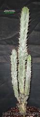 Cereus peruvianus monstrose v. minor (Pic #1 15gal. sized specimen) (mattslandscape) Tags: cactus apple club giant v hedge minor var peruvian cereus monstrosa kakteen peruvianus repandus monstrose pilocereus atroviridis cadushi kayush subpilocereus russelianus grenadensis piptanthocereus remolinensis margaritensis