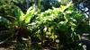 Jungle garden (annamaart) Tags: jungle tenerife teneriffa canaryislands puertodelacruz kanarieöarna djungel