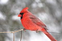 Mr Cardinal ~ HBW! (karma (Karen)) Tags: home topf25 birds backyard dof cardinal bokeh maryland baltimore hbw bokehwednesdays