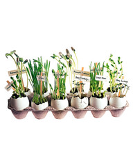 Labeled Eggshell Sprouts (Heath & the B.L.T. boys) Tags: diy gardening egg eggcarton