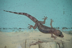 En el barrio La Caldoza (lezumbalaberenjena) Tags: santa clara animal cuba salamander villa teresa gecko barrio villas salamandra 2016