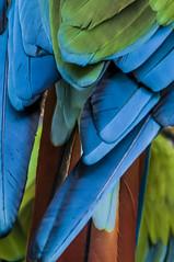 plumas (mamonto_70) Tags: textura colombia medellin cautiverio antioquia plumas suramerica 2016 zoologico guacamayas nikond90 areametropolitana valledeaburra