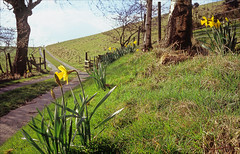 signs of spring (Ron Layters) Tags: flowers trees england field grass sunshine landscape spring interesting track pentax unitedkingdom derbyshire peakdistrict slide explore velvia daffodil transparency fujichrome highpeak pentaxmz10 blackhill whaleybridge ronlayters slidefilmthenscanned mz10 whaleymoor clifffarm highestpositioninexplore384ontuesdaymarch152016