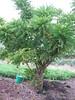 starr-130221-1594-Averrhoa_bilimbi-habit-Waihee-Maui (Starr Environmental) Tags: averrhoabilimbi