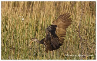 Limpkin (Aramus guarauna) LIMP - The Limpkin Plane Touched Down Just Fine...