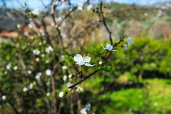 bahar erken geldi, abuk gitmesin.. (photographerofearth) Tags: flower spring branch blossom sprig bahar iek 1200d nevnema