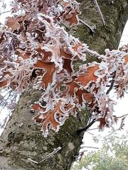 Frosty Oak Leaves (gerry.bates) Tags: canada tree leaf oak flora frost bc hoarfrost bark trunk portcoquitlam patternsinnature
