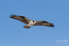Osprey returns from Home Depot sequence - 3 of 27