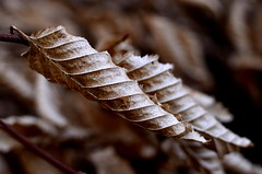 2016-071. (negligible) Tags: brown nature leaves sepia bristol spiral twist twirl botanicgarden