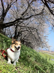 Under the cherry blossoms (moaan) Tags: dog smile smiling memory cherryblossoms remembrance welshcorgi fairwell pochiko