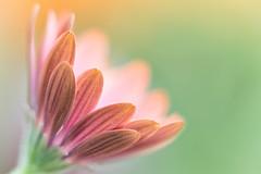 Another Daisy (mclcbooks) Tags: flowers flower macro floral closeup daisies colorado daisy africandaisy denverbotanicgardens zerenestacker