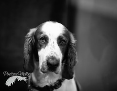 A Welshie gaze (Penelope Malby Photography) Tags: dog canine welsh dogshow gundog welshie welshspringer crufts 2016 dogstodaymagazine penelmalby penelopemalbyphotography crufts2016