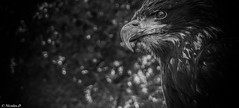 La Faucheuse / The Reaper (Pilouchy) Tags: wild bird nature monochrome birds animal eyes free vol bec oiseaux plume ailes aigle rapace
