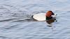 Male Pochard(Aythya ferina) (jdathebowler Thanks for 1.02 Million + views.) Tags: aves waterfowl pochard aythyaferina aquaticbird familyanatidae orderanseriformes genusaythya speciesaferina