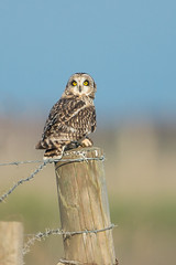 Short-eared-owl31 (lnrwildphoto) Tags: bird nikon short dorset tc owl prey eared d4 14x 600mm