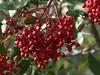 Toyon berries--Heteromeles arbutifolia (Polioptila caerulea) Tags: toyon toyonberries bigoakdr california nevadacounty