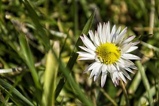 Madelief - Bellis perennis - Daisy  (Explore)