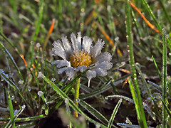 Ice crystals on daisy (neya25) Tags: flower ice crystals daisy blume icecrystals gnseblmchen eiskristalle mzuiko45mm