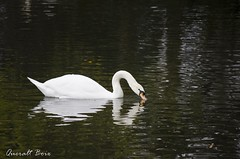 Cigne 2 (Queralt jqmj) Tags: lake lago swan catalunya cisne cerdanya llac cigne pirineu puigcerd