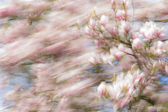 Storm in Spring (Rob Blanken) Tags: storm movement magnolia longexposuretime nikond810 afsnikkor70200mm128giied