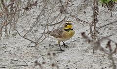 Horned Lark (1krispy1) Tags: larks hornedlark texasbirds