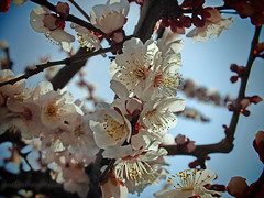 Yushima Tenjin Plum Blossom Festival (spunktitud3) Tags: japan tokyo spring   ume yushima tenjin  plumblossoms yushimatenjin     yushimatenjinshrine