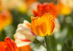 Happy Easter (Irina1010) Tags: light macro nature canon catchycolors easter spring colorful tulips bokeh ngc npc orangeandgreen coth5