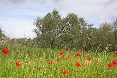 Coquelicots en Provence (Mathieu Pborde) Tags: france fleur rouge vent europe paca provence arles fontvieille printemps olivier champ coquelicot