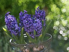 Hyazintha (Magreen2) Tags: blue light sun green licht spring colours bokeh sunny bubbles blau sonnig sonne farben frhling hyazinthen trioplan10028 hyazintha