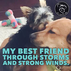 So glad you are always there (itsayorkielife) Tags: yorkie quote yorkshireterrier yorkiememe