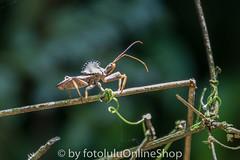 Argentinien_Insekten-76 (fotolulu2012) Tags: tierfoto