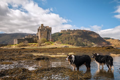 Having a paddle (cheese and pickle) Tags: uk blue trees sky white color colour tree castle dogs water animals clouds landscape scotland spring scenery seasons unitedkingdom britain outdoor scenic historic hills eileandonan scottishhighlands