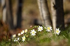 Finally it's spring! (janrs7) Tags: flowers trees nature norway forest norge spring dof sunny april wildflower forestfloor springflower hvitveis woodanemone nordiclandscape sonyemount55210mm sonyilc6000