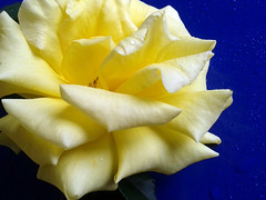 Yellow rose and blue (annovi.frizio) Tags: flowers blue colors rose yellow pearl
