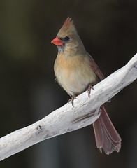 Cardinal rouge / Northern Cardinal (female) (fpoet_63) Tags: beaut oute