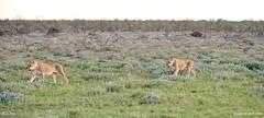 Namibia 6_6289_edited-1 (arx7) Tags: africa camp elephant jackal lion pride ostrich adventure safari leopard fox rhino zebra antelope giraffe savannah endangered impala waterhole namibia herd lioness hyena eland oryx etosha springbok wildebeest dikdik windhoek savanna swakopmund walvisbay anant gamereserve kudu hartebeest herero blackrhinoceros gemsbok skeletoncoast damara steenbok bantu namibdesert naukluft etoshapan subsaharan etoshanationalpark namibnaukluft okaukuejo africanwildcat raut anantrautorg anantraut republicofnamibia republiknamibia anantrautcom republiekvannamibie kuneni dolomitehills blackbackedhyena