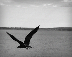 DSC_0224 (abi.rayner) Tags: sea blackandwhite bird monochrome vintage photography photo grain flight romance atmospheric seabird tonal