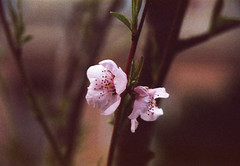 in bloom (Julie Anne Noying) Tags: nature 35mm spring nikon blossoms filmphotography nikonf55 f55 analoguephotography