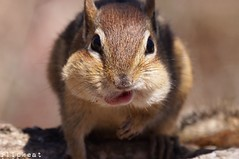 You Gotta Move (flipkeat) Tags: portrait nature animal happy funny wildlife awesome full chipmunk eastern alvin pouches