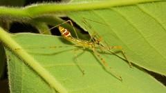Assassin Bug Nymph (Endochus sp., Reduviidae) (John Horstman (itchydogimages, SINOBUG)) Tags: insect macro china yunnan itchydogimages sinobug bug assassin nymph hemiptera reduviidae yellow topf25 fbe top entomology