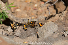 Argentinien_Insekten-62 (fotolulu2012) Tags: tierfoto