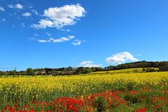 Colors de primavera (Albert T M) Tags: primavera catalonia girona nubes catalunya cataluña núvols amapolas catalogne roselles pladelestany campsdeconreu palolderevardit