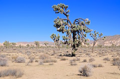Joshua Tree National Park, California (faungg's photos) Tags: california travel trees usa landscape us scenery scenic roadtrip    cca joshuatreenationalpark