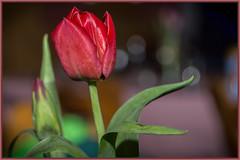 Tulpe - tulip (tom22_allgaeu) Tags: red flora nikon flash natur pflanzen tulip blitz tamron tulpe d3200