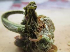 GUSANO - PIMENTON_4661 (Annabell-Frias) Tags: macro canon meg gusano insecto macroengeneral pimientocongusano gusanoenpimiento