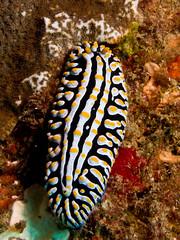 Nudibranch - <i>Phyllidia varicosa</i> (RiaanMarx) Tags: white black macro animal yellow underwater nudibranch pick phyllidia varicosa lrboltonv31 sodwana201603